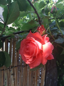 America grows between my apple and plum trees...a glowing stunning rose