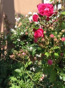king's rose