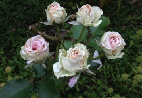 Mimi Eden rose ... so delicate