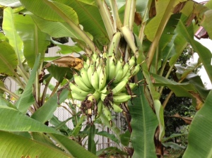 There are almost always bananas in Mom's garden