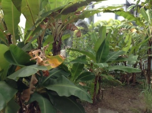 Inside the banana grove