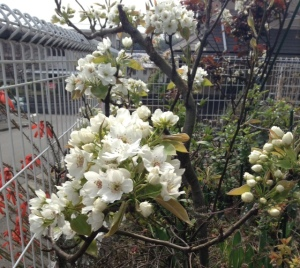 Pears in flower