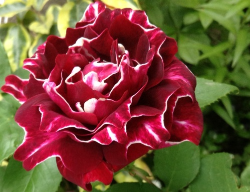 A Roger Lambelin rose is as exquisite as they come ... and they smell as good as they look too
