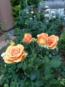 rosesahara