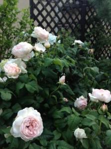 rosesharifahasmaphoto