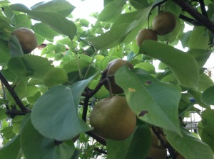 Nashi pears growing in nice numbers this year..