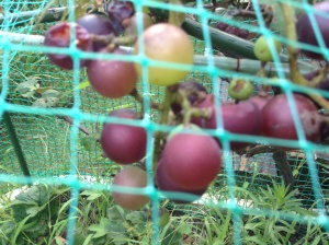 Last year we lost the whole crop of grapes to birds, this year a great many to Japanese beetles...