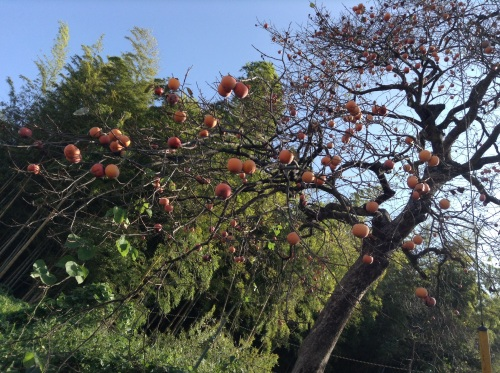 Persimmons hang like Xmas bulbs