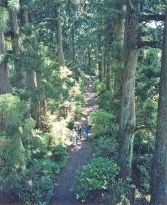 Crytomeria (Japanese cedar) Avenue